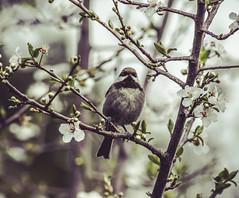 Chestnut-backed chickadee (julesnene) Tags: california bird backyard plum feeder chickadee backyardbird feederbird plumblossoms chestnutbackedchickadee poecilerufescens canonef400mmf56lusmlens julesnene juliasumangil canon7dmarkii canon7dmark2