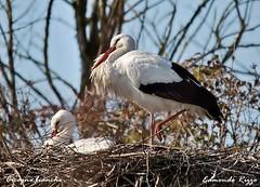 Cicogna bianca - Ciconia ciconia (Edmondo Rizzo) Tags: uccelli nido coppia ciconiaciconia trampolieri cicognabianca larizza oasidibentivoglio