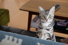 DSCF1370 (catfish.boogie) Tags: japan cat sapporo hokkaido xe2 xf1855mmf284rlmois