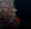 Horned Blenny (Parablennius intermedius) (Sylke Rohrlach) Tags: blue red sea fish macro castle water wasser neon ray au under australian australia fisch antlers snorkeling nsw colourful blau common fishes gem bunt combtooth jewel burg fluro schatz burrow unterwasser geweih schnorcheln koralle edelstein gehörnt blennie finned blennioidei schleimfisch strahlenflosser dx2g schleimfischartige kammzahnschleimfisch blenniiformes