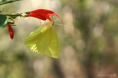 Borboleta (Insecta: Lepidoptera) (alcesterdiego) Tags: brasil fauna borboleta bahia insetos ecologia semirido lepdoptera caetit