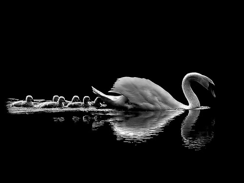 1st Alan Barker Swan Lake