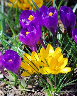Crocus  welcome