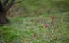 Ume no Sato (Nazra Zahri) Tags: japan spring nikon raw hanami okayama tsuyama 梅 plumblossoms 梅の花 花見 2016 d700