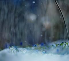 Midnight blue (Franci Van der vyver (Carmen Tulum)) Tags: blue moon snow spring midnight snowdrops scilla helios402 bluets springandwinter siberiansnowdrops