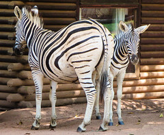Hanging out with mum.  Mlilwane snapshots (ShaaronS.) Tags: wild camp window animals wall mare stripes cottage young shade zebra resting swaziland tame sanctuary zebras herbivore foal southernafrica mlilwane equusburchelli mareandfoal plainszebra burchellszebra mlilwanewildlifesanctuary
