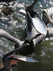 The brown pelican (Pelecanus occidentalis) (Mel's Looking Glass) Tags: brown pelican the occidentalis pelecanus