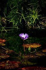 _15L9742 (5816OL) Tags: flowers dad waterlilies