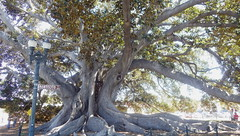 Santa Barbara icon (Jeff Goddard 32) Tags: california santabarbara moretonbayfig ficusmacrophylla