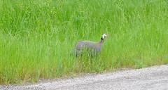 Texas 2016: Escaped(?) Helmeted Guineafowl #2 (wanderingYew2) Tags: bird texas hillcountry guineafowl texashillcountry helmetedguineafowl sansabacounty fujixpro2