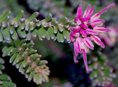 Grevillea lanigera, Kings Park, Perth, WA, 18/03/16 (Russell Cumming) Tags: plant perth kingspark westernaustralia grevillea proteaceae grevillealanigera grevillealanigeramttamboritha