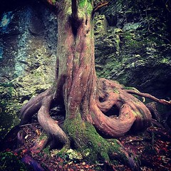 Rooted (Jane in the UK) Tags: tree twisted treeroot goblincombe