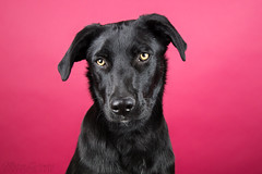 Nica (Maria Zielonka) Tags: pink dog pet black dogs photography mutt mix labrador fotografie shepherd maria fuerteventura magenta indoor hund shelter haustier schwarz hunde mischling nica studi fuerte schferhund tierheim tierfotografie perrera zielonka bardino ttung