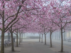 Cherry blossoms in the mist (PriscillaBurcher) Tags: stockholm cherryblossoms kungstrdgrden l1290193