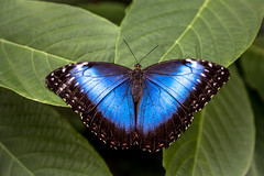 Big Blue Butterfly (DC P) Tags: blue macro green nature closeup butterfly insect leaf big butterflies insects morpho soe bej fantasticnature
