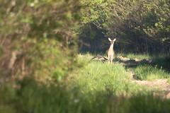 Fly By. (rlbarn) Tags: wildlife doe deer whitetail
