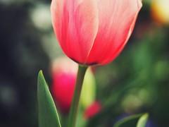 Spring Flowers (Jon-F, themachine) Tags: flowers plants plant flower nature japan asian outdoors flora asia olympus nagoya  nippon japo oriental  orient  fareast  aichi nihon  omd    chubu japn  2016 m43  mft   mirrorless  chuubu   micro43 microfourthirds  ft xapn jonfu  mirrorlesscamera snapseed   em5ii em5markii