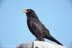 Blackbird (riggy-riggo) Tags: window nature birds kent spring wildlife sigma sunny blackbird 150500mm canon5dmarkll deborahrigden riggyriggo debbierigden