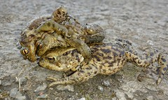 Frogs and toads (deanhammersley) Tags: green amphibian toads romance frog frogs mating slimy amphibious matingtoads frogcarryingyoung frogwithfrogsonback
