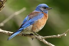 LOU89684  Western Bluebird (Lou Orr) Tags: