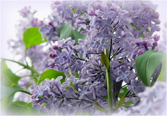 Lilac (Stella VM) Tags: flowers blue garden spring lilac
