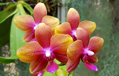Rainbow Orchids (hpaich) Tags: park pink plant orchid flower nature beauty yellow newjersey nj fuschia greenhouse jersey middletown deepcut deepcutpark