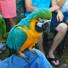 Key West (Florida) Trip 2015 0281Ri sq (edgarandron - Busy!) Tags: rescue bird birds keys florida parrot keywest cockatoo macaw floridakeys nancyforrester