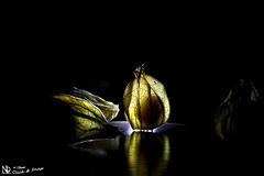 The P-Boys (nicoheinrich86) Tags: light shadow black reflection art boys fruit dark licht dof pov kunst sony details scene frucht schatten schwarz dunkel reflektion physalis durchsichtig schrfentiefe 2016 schemen hx400v