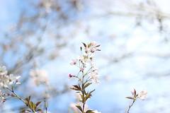 IMG_75220 (RL Mulholland) Tags: flowers blue light sky tree nature 50mm spring seasons blossom april f18