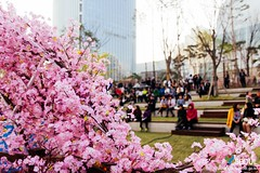 Seoul: Songpa Naru Park's Cherry Blossoms (Seoul Korea) Tags: park city beautiful asian photo spring asia capital korea korean photograph seoul cherryblossom kr southkorea  lotteworld jamsil   seoulkorea republicofkorea songpagu canoneos6d flickrseoul seokchonlake sigma2470mmf28exdghsm songpanarupark iseoulu