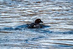 Telkk / Goldeneye (Tuomo Lindfors) Tags: bird water suomi finland clarity dxo vesi goldeneye lintu iisalmi telkk topazlabs filmpack paloisvirta