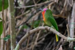 Red-bearded Bee Eater (Beberek Tunggal) (begbirumerah) Tags: birdperfect