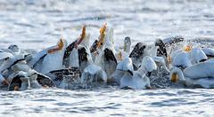 Amer. White Pelican-group dip (wildwood4est) Tags: birds wildlife places manitoba lockport americanwhitepelican