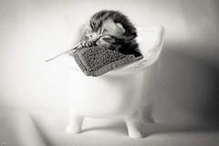 In meiner Badewanne bin ich Kapitn (Petra Wendt) Tags: blackandwhite pet cat kitten olympus katze monochrom haustier kater britishshorthair ktzchen bkh schwarzweis britischkurzhaar rni catmoments zuiko75300 em5markii omdem5markii