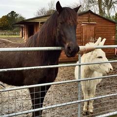 Ceffyl ac asyn, Dyffryn Ardudwy (Rhisiart Hincks) Tags: horse square caballo cheval waiting donkey aros cavallo pferd each hest gwynedd ceffyl лошадь ló asyn arklys equuscaballus dyffrynardudwy zaldi azen kazeg kůň hobune άλογο capall zirgs فرس hoiho disgwyl sgwâr karrez karratu cabbyl cèarnagach