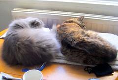 Sleepy-Cats..xx (carlene byland) Tags: cats love home fur table persian tabby sleepy heat centralheating
