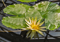 Nymphaea 'Saint LouisGold' (bric) Tags: flowers kewgardens waterlillies