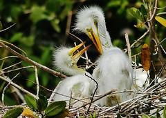 Two Great Egret Chicks (Susan Roehl Thanks for 5.1 M Views) Tags: nest wildlife ngc panasonic chicks greategret 100300mmlens lumixdmcgh4 backyard2016 sueroehl freshwaterwetlandsandsaltwatermarshes buildnestsinmediumsizedtreesandreedbeds fragileplatformofsmallsticks overornearwater usuallythreepaleblueeggs parentstaketurnsincubating greategretslivefor22years