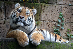 Fedor @ Dierenpark Amersfoort 06-02-2016 (Maxime de Boer) Tags: cats animals zoo big tiger siberian tijger dieren amersfoort dierentuin amurtiger dierenpark fedor katachtigen siberische