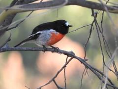 Male Scarlet Robin attentive (jeaniephelan) Tags: bird robin australianbird scarletrobin malerobin tasmanianbird malescarletrobin