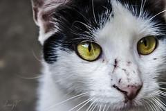 Ojitos de gato. (Laury Volcn.) Tags: venezuela caracas mascotas