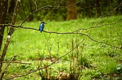 Eisvogel - kingfisher (Ernie :+)) Tags: nikon kingfisher eisvogel d7k d7000 nikond7000