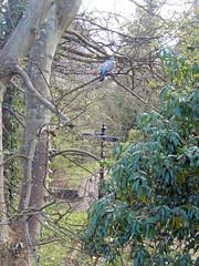 Woodpigeon and signpost, 2016 Apr 18 (Dunnock_D) Tags: uk trees bird sign woodland scotland woods unitedkingdom fife britain pigeon perched standrews signpost woodpigeon perching