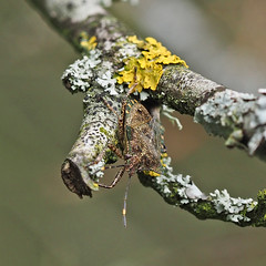 Lichen and Bug (ajg_steyning) Tags: tree nature bug insect lichen