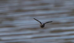 A Bug's Perspective (Bonnie Ott) Tags: lake water flight skimming purplemartin prognesubis