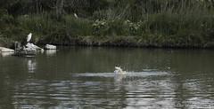 _DSC0371 (chris30300) Tags: france heron de pont parc oiseau camargue gau saintesmariesdelamer flamant provencealpesctedazur ornithologique