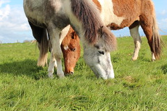 IMG_9977 (fraroan) Tags: paarden ponys tolt rijden paardrijden ijslander ijslandse ijslanders fraroan telgang westbemster