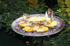 IMG_2424 (Mercar) Tags: canada butterfly garden botanical montreal go butterflies jardin free greenhouse botanic botaanikaaed qubeck