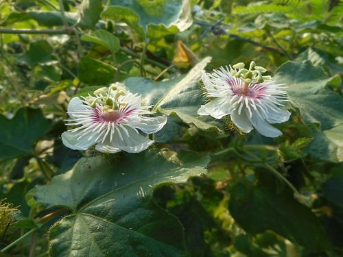 Passiflora foetida L.  Passifloraceae: fetid passionflower, กะทกรก