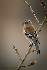 Singing in the wind (ABPhotosUK (Thanks for 600 followers)) Tags: birds animals canon wildlife devon finches nocrop dartmoor fringillacoelebs chaffinch eos7dmarkii smeardondown ef100400mmisii